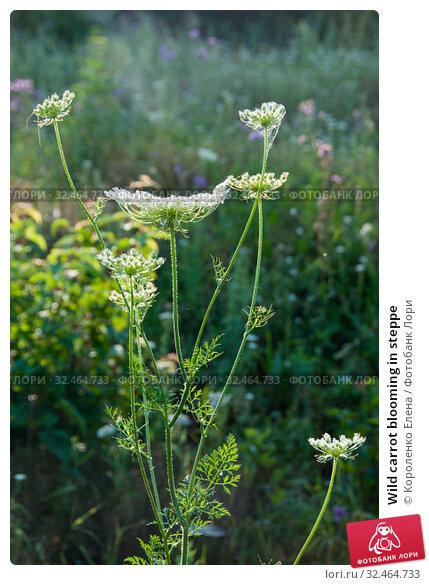 Купить «Wild carrot blooming in steppe», фото № 32464733, снято 15 июля 2019 г. (c) Короленко Елена / Фотобанк Лори