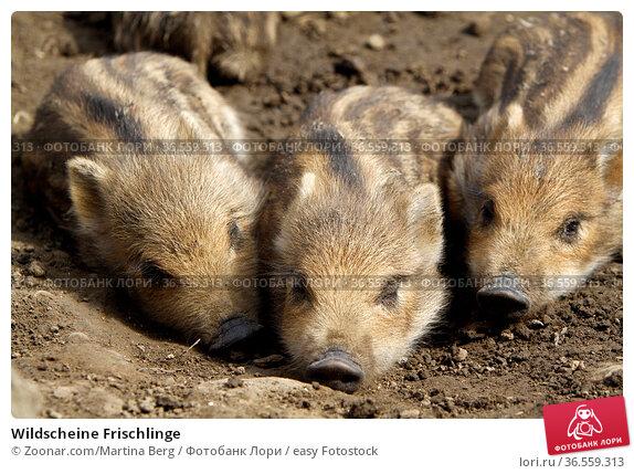 Wildscheine Frischlinge. Стоковое фото, фотограф Zoonar.com/Martina Berg / easy Fotostock / Фотобанк Лори