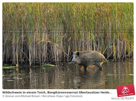 Wildschwein in einem Teich, Biosphärenreservat Oberlausitzer Heide... Стоковое фото, фотограф Zoonar.com/Michael Breuer / age Fotostock / Фотобанк Лори