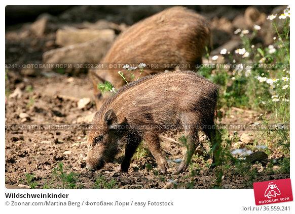 Wildschweinkinder. Стоковое фото, фотограф Zoonar.com/Martina Berg / easy Fotostock / Фотобанк Лори
