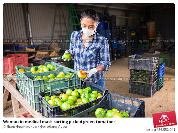 Woman in medical mask sorting picked green tomatoes. Стоковое фото, фотограф Яков Филимонов / Фотобанк Лори