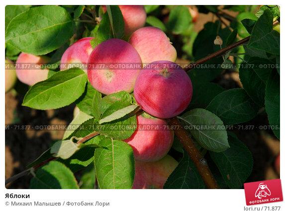 Яблоки, фото № 71877, снято 26 июля 2007 г. (c) Михаил Малышев / Фотобанк Лори