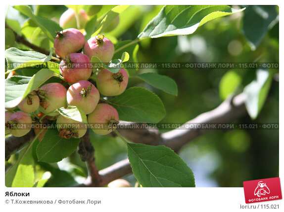 Яблоки, фото № 115021, снято 23 июля 2007 г. (c) Т.Кожевникова / Фотобанк Лори
