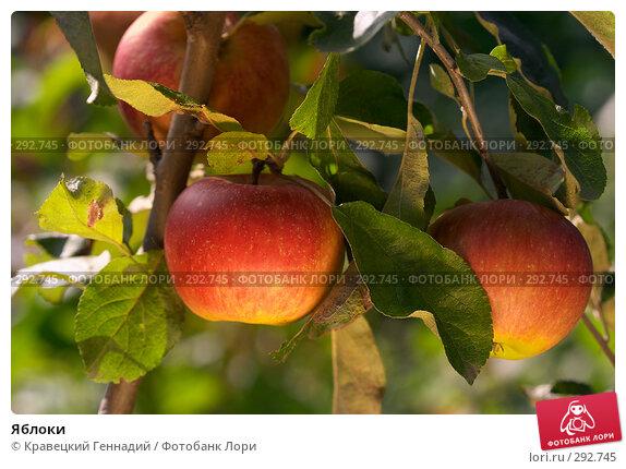 Купить «Яблоки», фото № 292745, снято 19 сентября 2004 г. (c) Кравецкий Геннадий / Фотобанк Лори