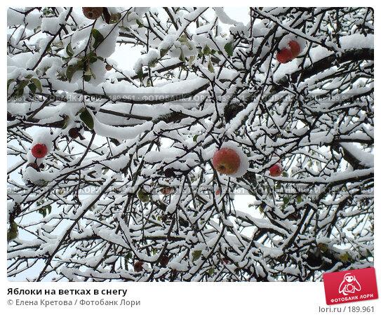 Яблоки на ветках в снегу, фото № 189961, снято 21 апреля 2007 г. (c) Елена Кретова / Фотобанк Лори