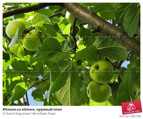 Купить «Яблоки на яблоне, крупный план», фото № 236129, снято 29 июля 2007 г. (c) Ольга Хорькова / Фотобанк Лори
