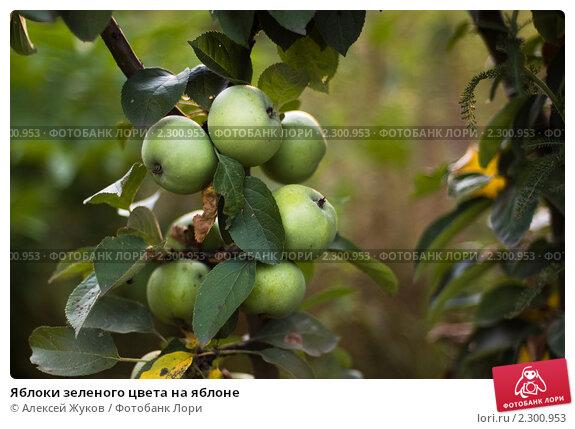 Яблоки зеленого цвета на яблоне. Стоковое фото, фотограф Алексей Жуков / Фотобанк Лори