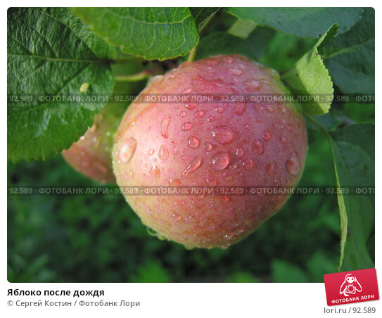 Яблоко после дождя, фото № 92589, снято 9 сентября 2006 г. (c) Сергей Костин / Фотобанк Лори