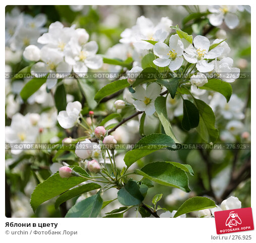 Купить «Яблони в цвету», фото № 276925, снято 2 мая 2008 г. (c) urchin / Фотобанк Лори