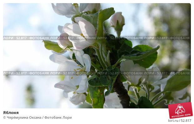 Купить «Яблоня», фото № 52817, снято 20 мая 2007 г. (c) Черёмухина Оксана / Фотобанк Лори