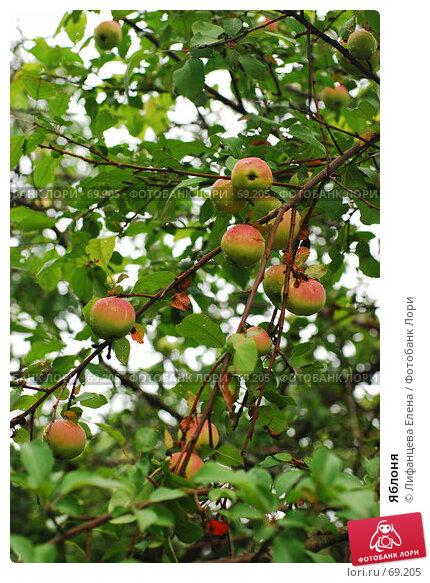 Купить «Яблоня», фото № 69205, снято 1 августа 2007 г. (c) Лифанцева Елена / Фотобанк Лори