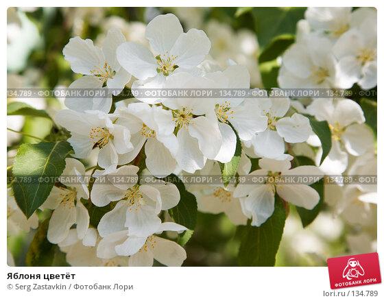 Купить «Яблоня цветёт», фото № 134789, снято 5 июня 2006 г. (c) Serg Zastavkin / Фотобанк Лори