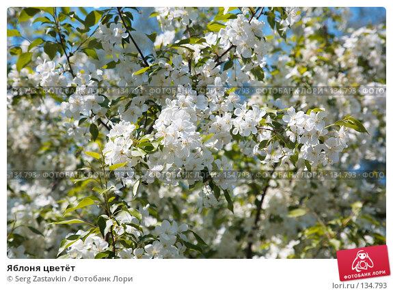 Купить «Яблоня цветёт», фото № 134793, снято 5 июня 2006 г. (c) Serg Zastavkin / Фотобанк Лори