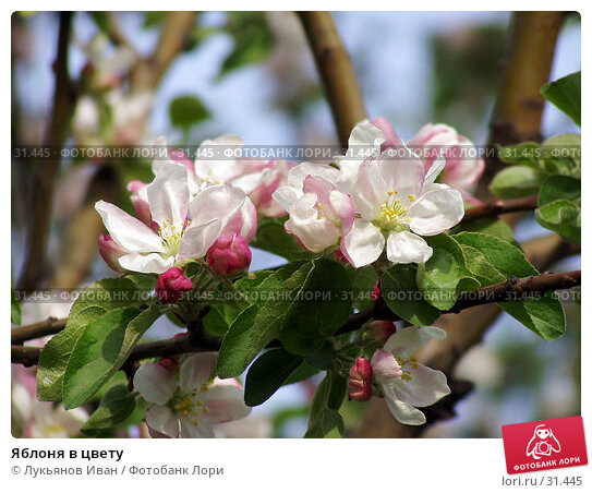 Яблоня в цвету, фото № 31445, снято 2 июня 2006 г. (c) Лукьянов Иван / Фотобанк Лори