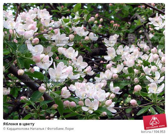 Купить «Яблоня в цвету», фото № 104953, снято 26 апреля 2018 г. (c) Кардаполова Наталья / Фотобанк Лори