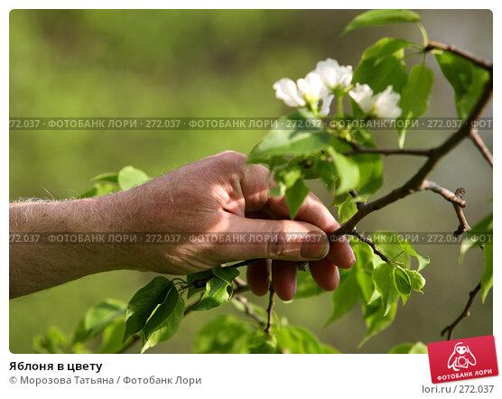 Яблоня в цвету, фото № 272037, снято 1 мая 2008 г. (c) Морозова Татьяна / Фотобанк Лори