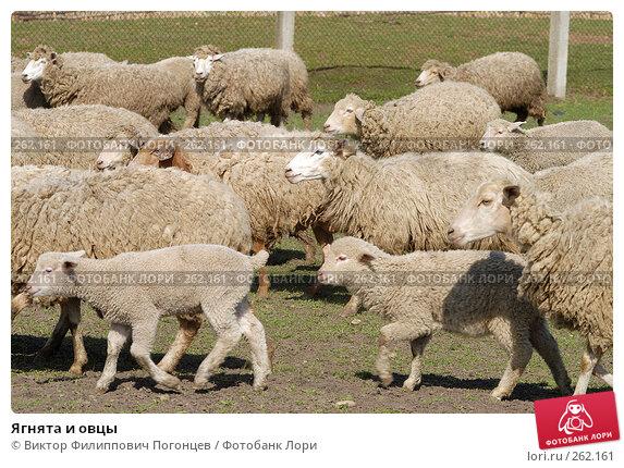 Ягнята и овцы, фото № 262161, снято 6 апреля 2006 г. (c) Виктор Филиппович Погонцев / Фотобанк Лори