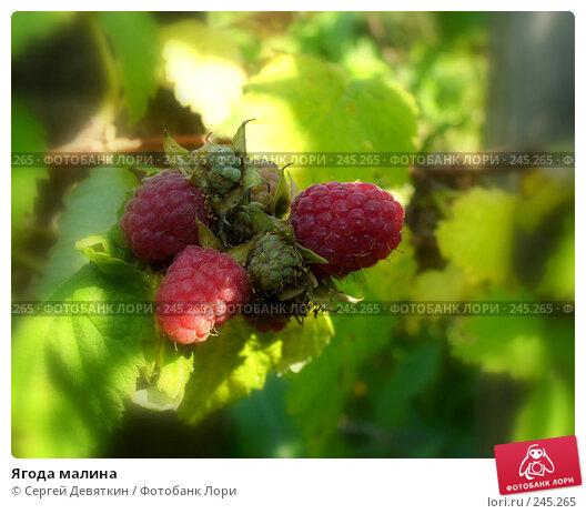 Купить «Ягода малина», фото № 245265, снято 15 июля 2007 г. (c) Сергей Девяткин / Фотобанк Лори