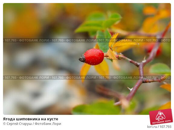 Ягода шиповника на кусте, фото № 107793, снято 28 октября 2007 г. (c) Сергей Старуш / Фотобанк Лори