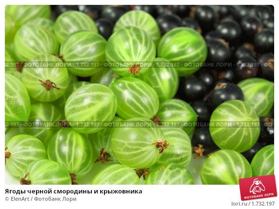 Купить «Ягоды черной смородины и крыжовника», фото № 1732197, снято 16 июля 2009 г. (c) ElenArt / Фотобанк Лори