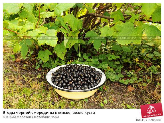 Ягоды черной смородины в миске, возле куста. Стоковое фото, фотограф Юрий Морозов / Фотобанк Лори