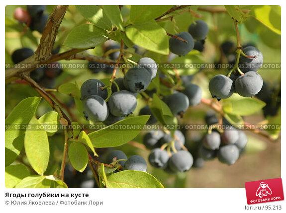 Купить «Ягоды голубики на кусте», фото № 95213, снято 24 августа 2006 г. (c) Юлия Яковлева / Фотобанк Лори