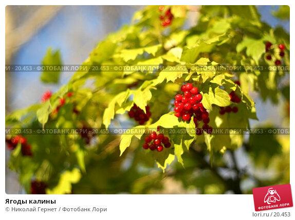 Ягоды калины, фото № 20453, снято 13 октября 2006 г. (c) Николай Гернет / Фотобанк Лори