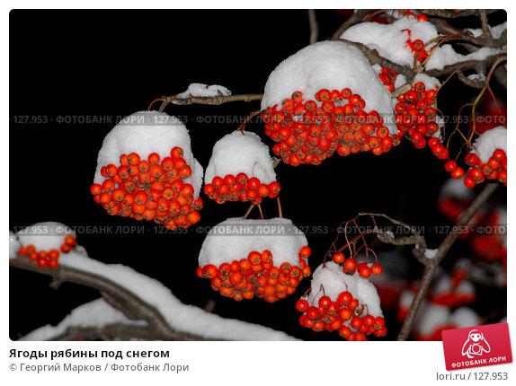 Ягоды рябины под снегом, фото № 127953, снято 26 ноября 2005 г. (c) Георгий Марков / Фотобанк Лори