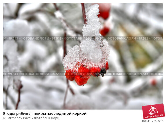 Ягоды рябины, покрытые ледяной коркой, фото № 99513, снято 23 марта 2017 г. (c) Parmenov Pavel / Фотобанк Лори