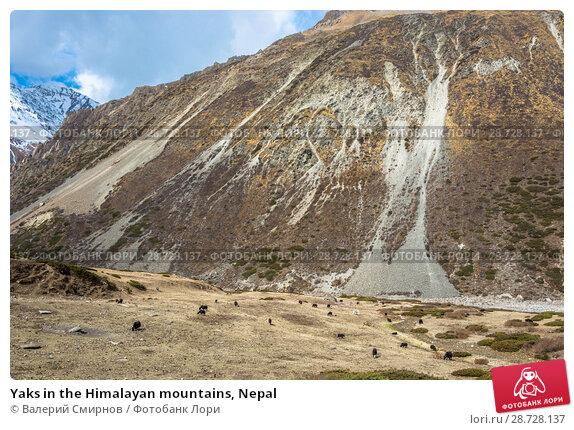 Купить «Yaks in the Himalayan mountains, Nepal», фото № 28728137, снято 6 апреля 2018 г. (c) Валерий Смирнов / Фотобанк Лори