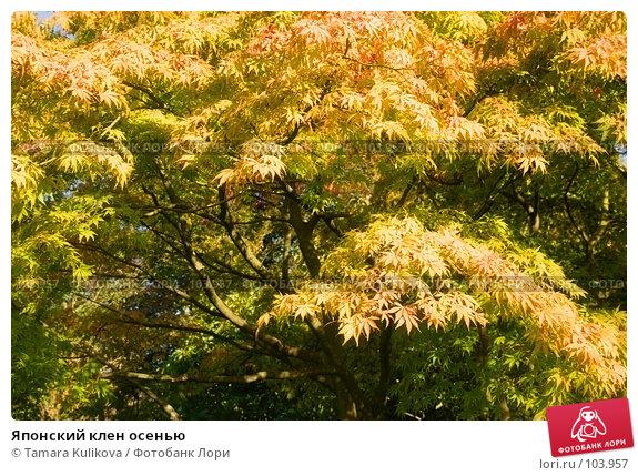 Японский клен осенью, фото № 103957, снято 23 августа 2017 г. (c) Tamara Kulikova / Фотобанк Лори