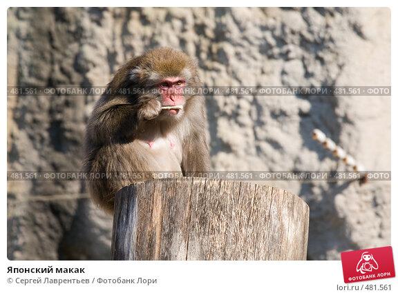 Купить «Японский макак», фото № 481561, снято 26 сентября 2008 г. (c) Сергей Лаврентьев / Фотобанк Лори