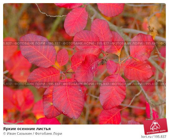 Яркие осенние листья, фото № 195837, снято 13 ноября 2004 г. (c) Иван Сазыкин / Фотобанк Лори