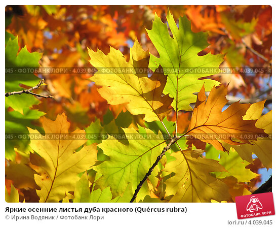 Купить «Яркие осенние листья дуба красного (Quércus rubra)», эксклюзивное фото № 4039045, снято 28 октября 2012 г. (c) Ирина Водяник / Фотобанк Лори