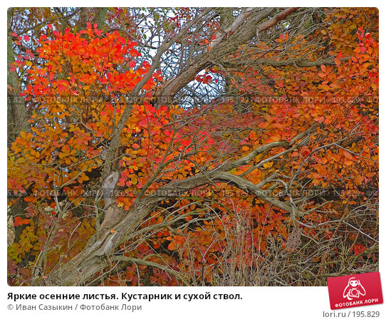 Купить «Яркие осенние листья. Кустарник и сухой ствол.», фото № 195829, снято 13 ноября 2004 г. (c) Иван Сазыкин / Фотобанк Лори