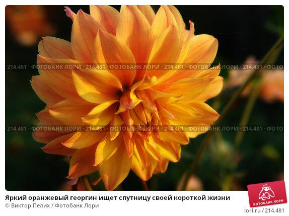 Яркий оранжевый георгин ищет спутницу своей короткой жизни, фото № 214481, снято 7 сентября 2007 г. (c) Виктор Пелих / Фотобанк Лори