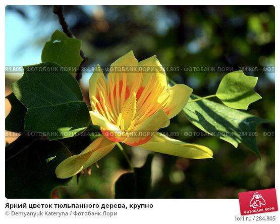 Яркий цветок тюльпанного дерева, крупно, фото № 284805, снято 14 мая 2008 г. (c) Demyanyuk Kateryna / Фотобанк Лори