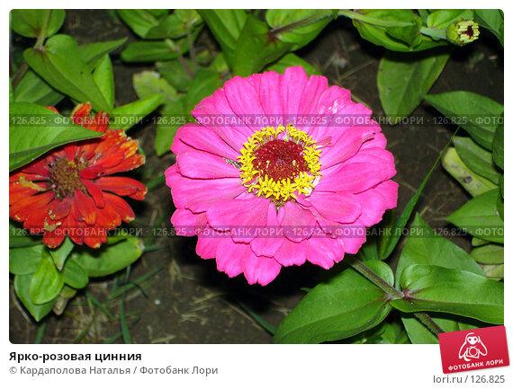 Ярко-розовая цинния, фото № 126825, снято 24 июля 2006 г. (c) Кардаполова Наталья / Фотобанк Лори