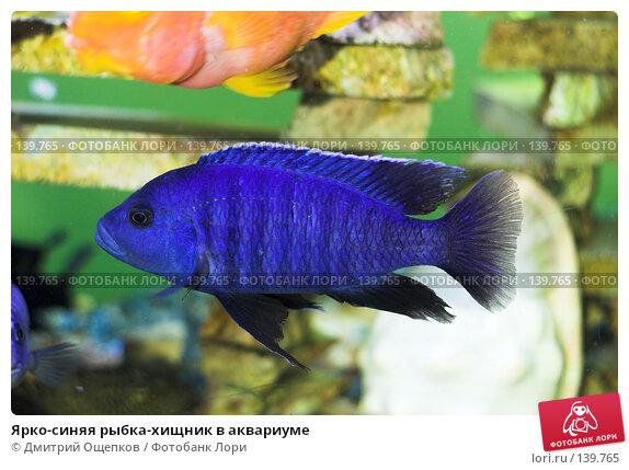 Ярко-синяя рыбка-хищник в аквариуме, фото № 139765, снято 25 марта 2017 г. (c) Дмитрий Ощепков / Фотобанк Лори