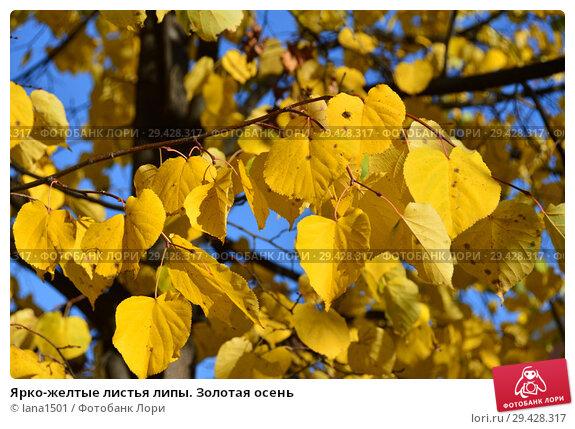Купить «Ярко-желтые листья липы. Золотая осень», эксклюзивное фото № 29428317, снято 16 октября 2018 г. (c) lana1501 / Фотобанк Лори