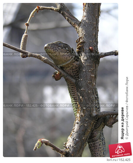 Ящер на дереве, фото № 152425, снято 16 апреля 2005 г. (c) Дмитрий Сарычев / Фотобанк Лори