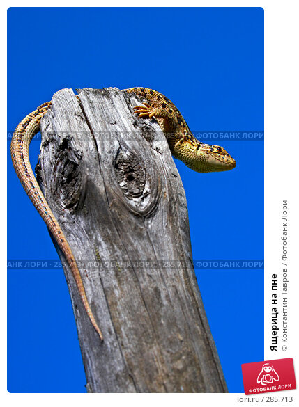 Ящерица на пне, фото № 285713, снято 3 мая 2008 г. (c) Константин Тавров / Фотобанк Лори