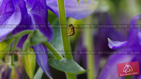 Купить «Yellow-black hoverfly close-up», видеоролик № 30999761, снято 13 июня 2019 г. (c) Игорь Жоров / Фотобанк Лори
