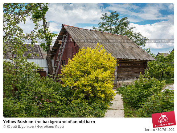 Купить «Yellow Bush on the background of an old barn», фото № 30761909, снято 11 июня 2017 г. (c) Юрий Шурчков / Фотобанк Лори