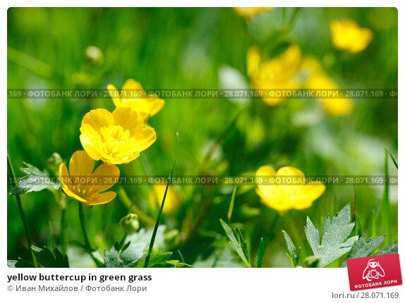 Купить «yellow buttercup in green grass», фото № 28071169, снято 10 июня 2015 г. (c) Иван Михайлов / Фотобанк Лори