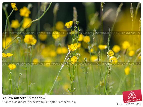 Купить «Yellow buttercup meadow», фото № 27761601, снято 24 апреля 2019 г. (c) PantherMedia / Фотобанк Лори