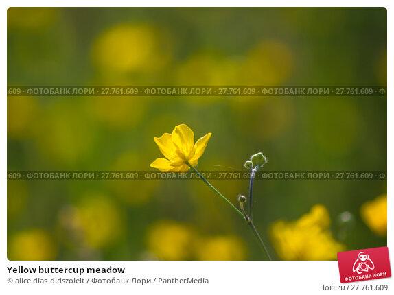 Купить «Yellow buttercup meadow», фото № 27761609, снято 22 апреля 2019 г. (c) PantherMedia / Фотобанк Лори