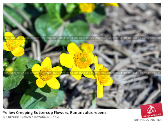 Купить «Yellow Creeping Buttercup Flowers, Ranunculus repens», фото № 27207165, снято 21 мая 2016 г. (c) Евгений Ткачёв / Фотобанк Лори
