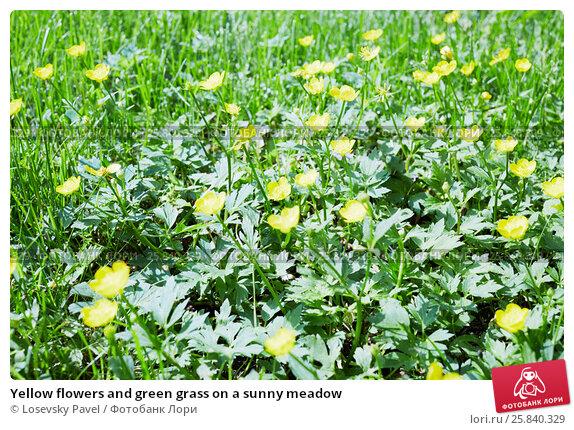 Купить «Yellow flowers and green grass on a sunny meadow», фото № 25840329, снято 1 июня 2015 г. (c) Losevsky Pavel / Фотобанк Лори