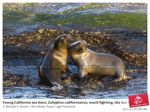 Купить «Young California sea lions, Zalophus californianus, mock fighting, Isla San Pedro Martir, Baja California, Mexico.», фото № 28700461, снято 8 апреля 2016 г. (c) age Fotostock / Фотобанк Лори